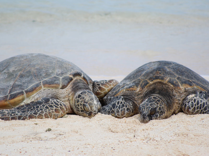 Climate Change Means 'Virtually No Male Turtles' Born In A Key Nesting Ground Megan Nagel/USFWS
