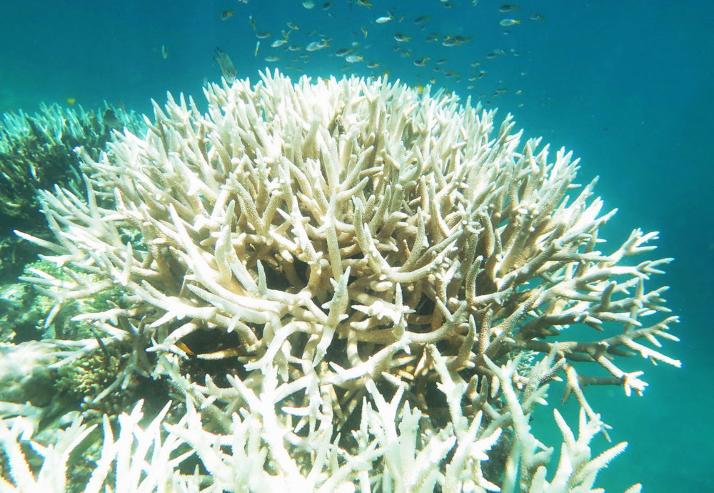 Bleached staghorn coral on the Great Barrier Reef in March 2017. Bette Willis / ARC CoE